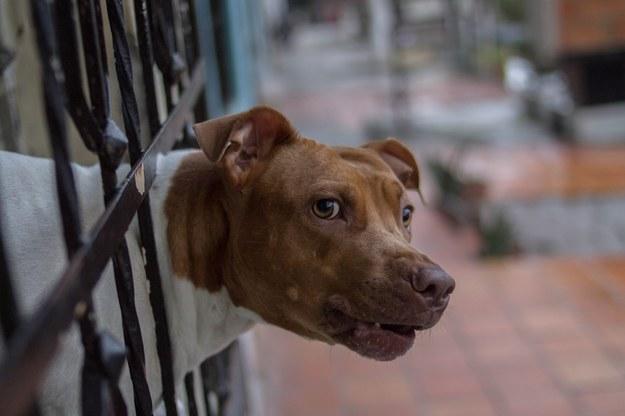 Pies zagryzł 12-letniego Kamila. Zarzuty dla właściciela pitbula
