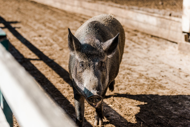 Podkarpacki samorząd przekaże pieniądze dla rolników poszkodowanych z powodu ASF