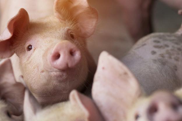 Brak rzeźników po brexicie. 150 tys. zdrowych zwierząt do wybicia