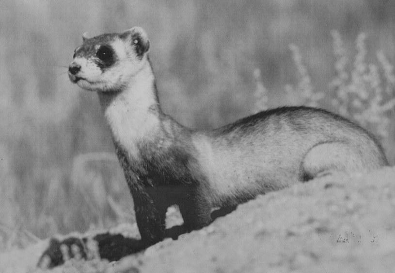 Zdjęcie tchórza czarnołapego z Denver Post z 1983 - już wtedy gatunek uznany był za bliski wyginięciu /The Denver Post /Getty Images