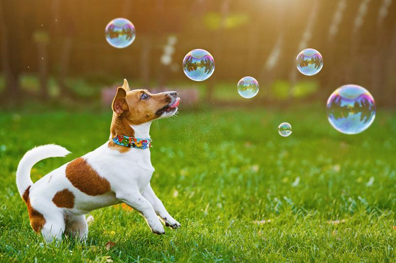 Zdrowego psa rozpoznać można po jego dobrym samopoczuciu /123RF/PICSEL