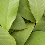 Zdrowotne właściwości herbaty z gujawy