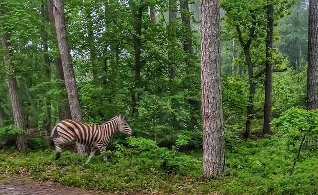 """Zebra w lesie na Mierzei Wiślanej. """"Ociepla nam się klimat"""""""
