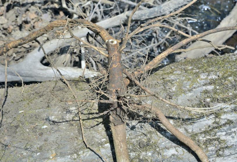Żeń-szeń syberyjski /©123RF/PICSEL