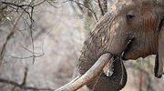 Zginął na polowaniu. Przygniótł go słoń