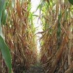 Zgub się w labiryncie z kukurydzy
