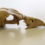 Zidentyfikowano DNA wymarłego gatunku ptaka