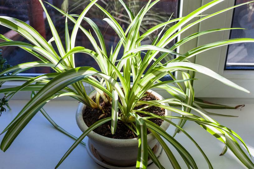 Zielistka jest wyjątkowo łatwą w uprawie rośliną /123RF/PICSEL