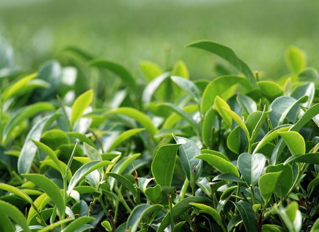 Zielona herbata jest naturalnym antyutleniaczem /123RF/PICSEL
