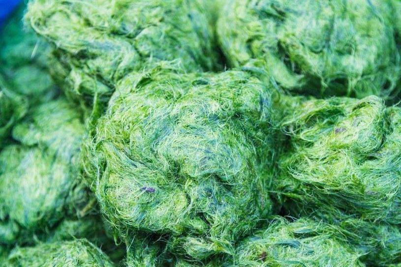 Zielone algi /©123RF/PICSEL