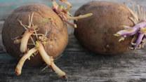 Zielone i kiełkujące ziemniaki. Uważaj, może skończyć się tragicznie