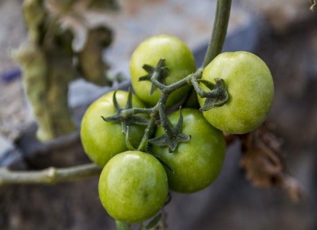 Zielone pomidory /123RF/PICSEL