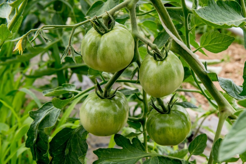 Zielone pomidory /East News