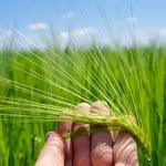 Zielony jęczmień: Pomaga schudnąć i wzmacnia serce