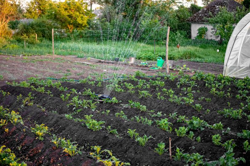 Ziemię, na której rosną ziemniaki, trzeba regularnie nawadniać /123RF/PICSEL