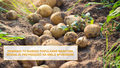 Ziemniak ziemniakowi nierówny, czyli jakie wybrać do obiadu