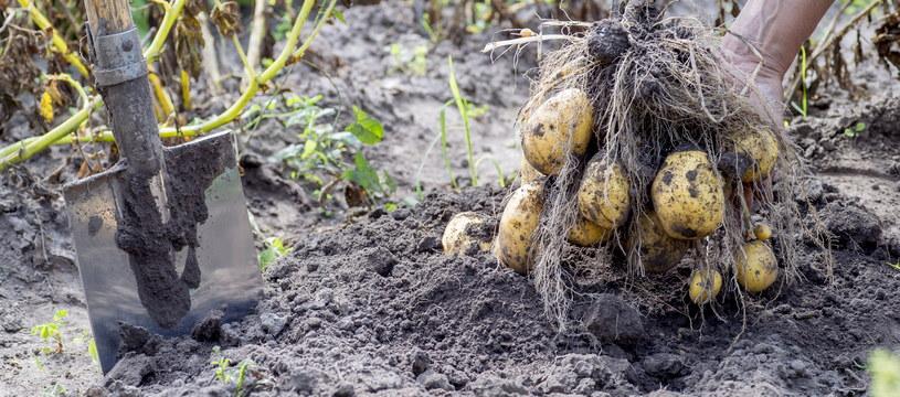 Ziemniaki można sadzić w ogrodzie /123RF/PICSEL