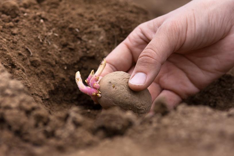 Ziemniaki przeznaczone do sadzenia musza mieć kiełki /123RF/PICSEL