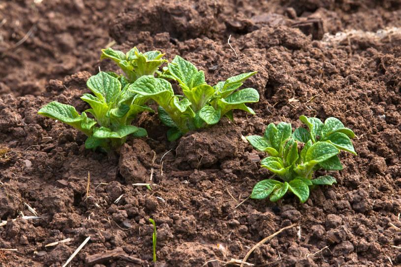 Ziemniaki trzeba sadzić w rzędach /123RF/PICSEL