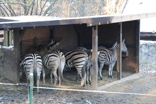 Zima im nie straszna. Zwierzęta w krakowskim ZOO przygotowane do niskich temperatur /RMF FM, Józef Polewka /RMF FM