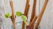Zimą pobierz zdrewniałe sadzonki