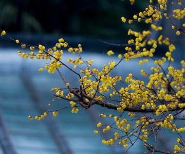 Zimokwiat wczesny. Uprawa i pielęgnacja