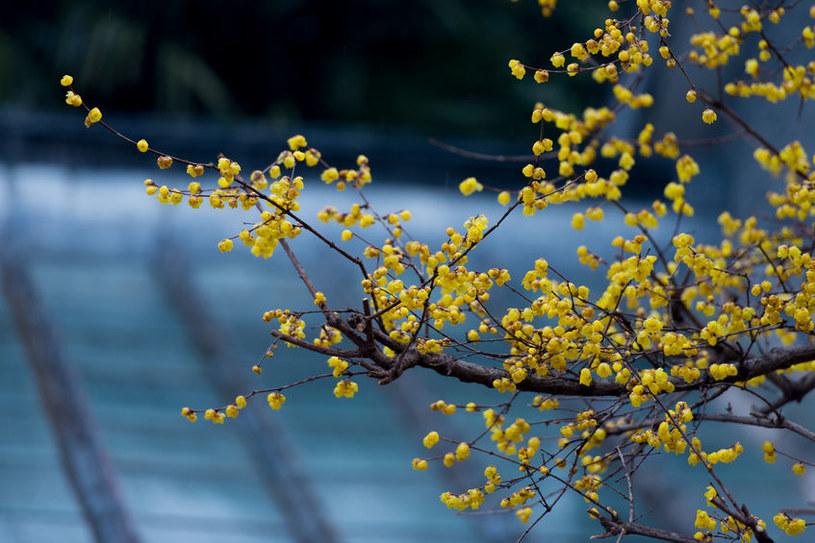 Zimokwiat wczesny /©123RF/PICSEL