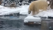 Zimowe szaleństwa w wykonaniu niedźwiedzia polarnego