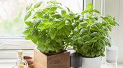 Ziołowy ogródek na parapecie - jak go założyć?