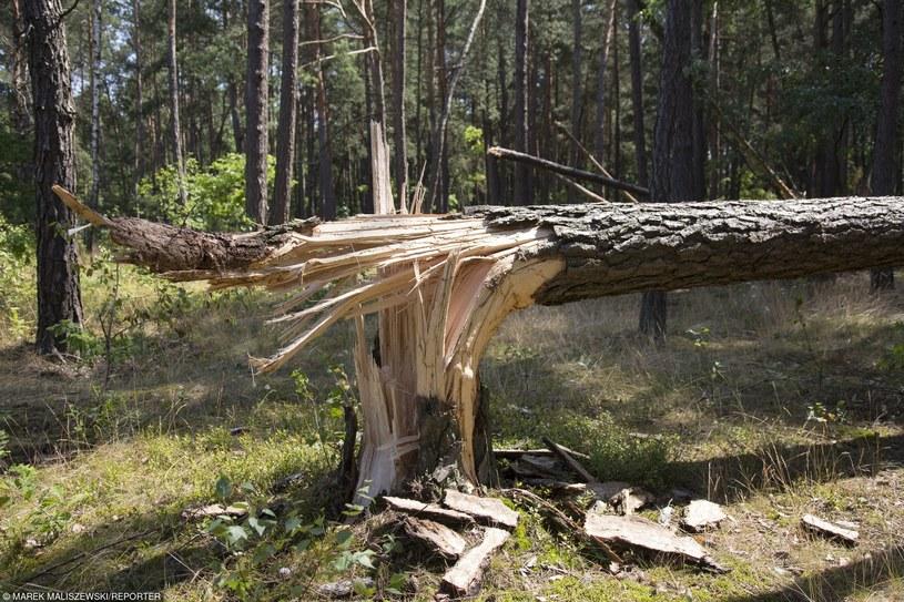 Złamane przez wichurę drzewo /Marek Maliszewski  /Reporter