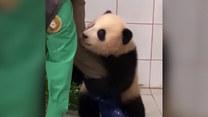Złapała nogę i nie chciała puścić. Urocza panda