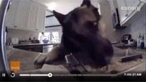 Złapany na gorącym uczynku. Kamera nagrała psa, który...