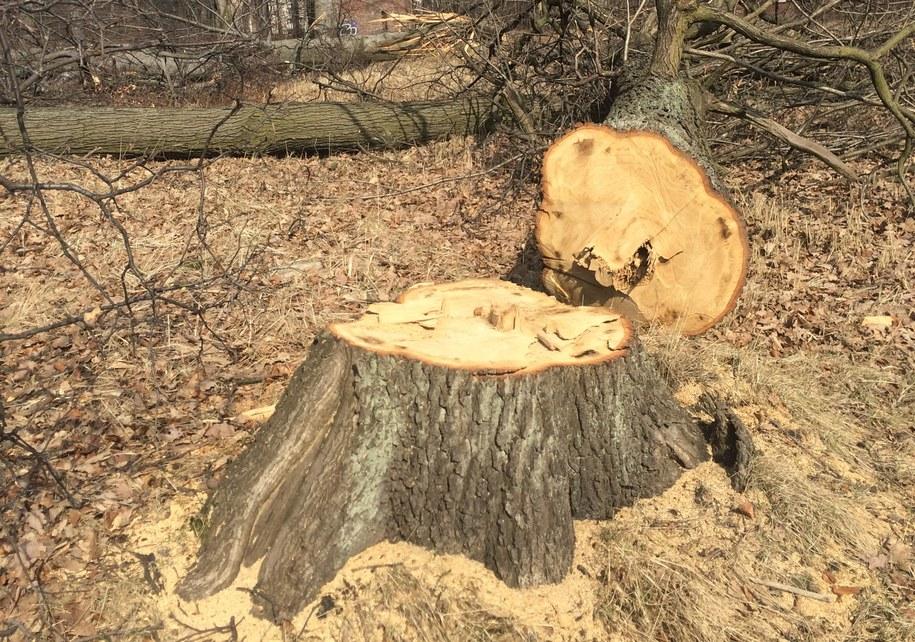Zliberalizowane przepisy dot. wycinki drzew na prywatnych posesjach obowiązują od 1 stycznia (zdjęcie ilustracyjne) /Marcin Buczek /Archiwum RMF FM