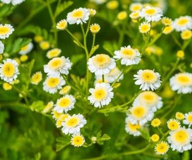 Złocień maruna: Naturalna aspiryna. Obniży gorączkę i zwalczy bóle głowy