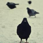 Złodzieje gołębi w rękach policji. Ukradli ptaki o wartości ponad 400 tys. zł