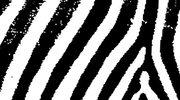 Złota Zebra pojedzie do Angoli