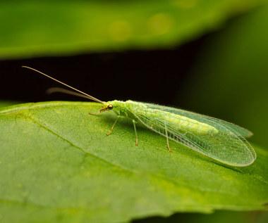 Złotook: Pożyteczny owad w domu