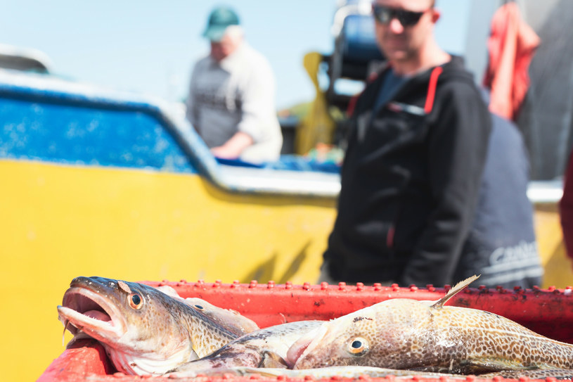 Złowione dorsze na kutrze rybackim /Piotr Dziurman /Reporter