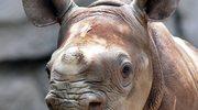 Zły sen nosorożców