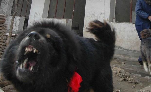 Zmarł 65-latek pogryziony przez mastify tybetańskie