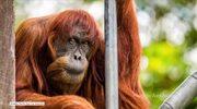 Zmarł najstarszy orangutan na świecie. Miał 62 lata