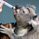 Zmiany klimatu zagrażają misiom koala