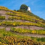 Zmiany klimatyczne groźne dla uprawy winorośli