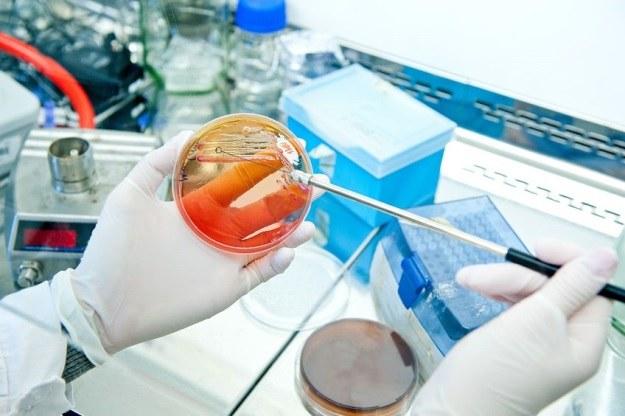 Zmodyfikowane genetycznie bakterie E.coli produkują nić pajęczą /123RF/PICSEL