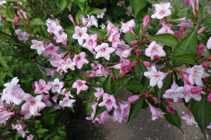 Znakiem rozpoznawczym krzewuszki są śliczne kwiaty /123RF/PICSEL
