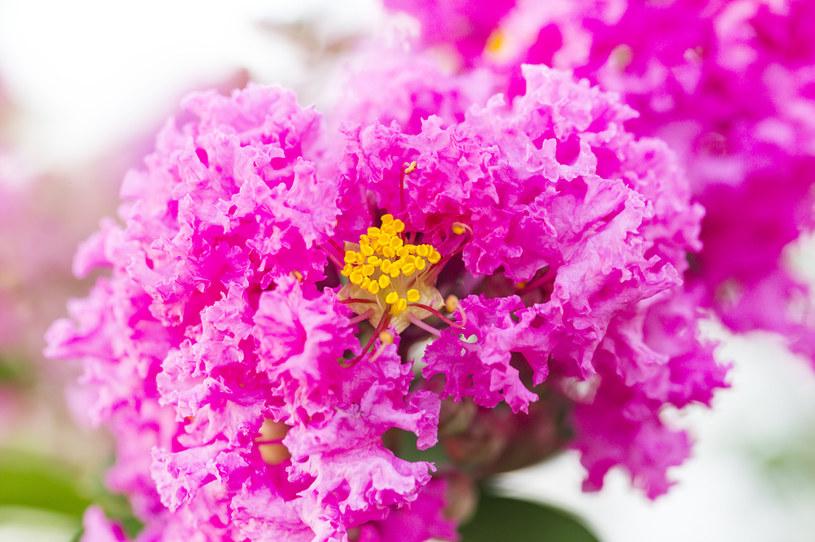 Znakiem rozpoznawczym rośliny są zjawiskowe kwiaty /123RF/PICSEL
