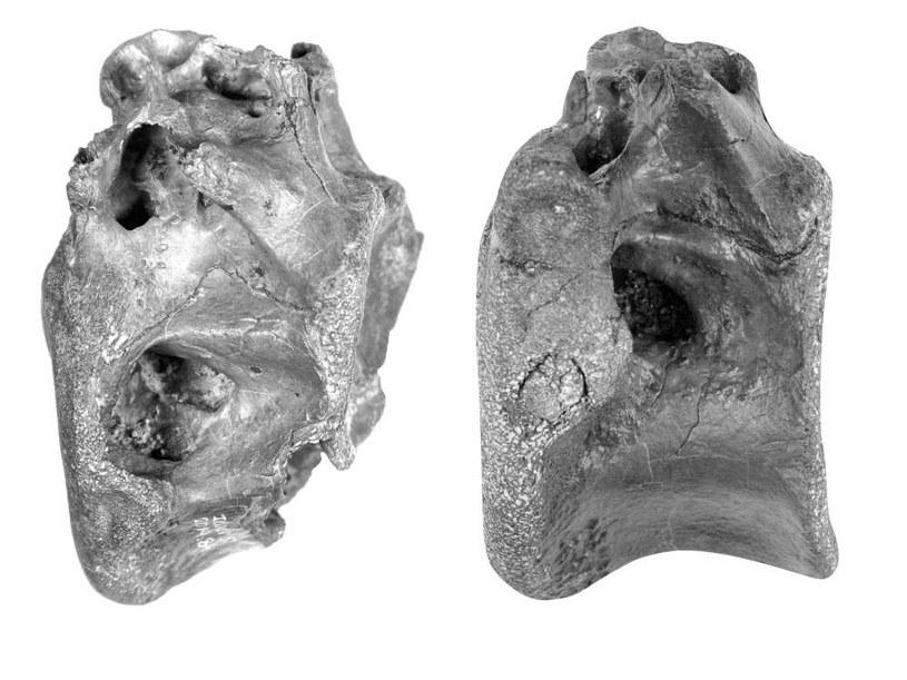 Znalezione szczątki należą do nieznanego wcześniej gatunku Vectaerovenator inopinatus /materiały prasowe