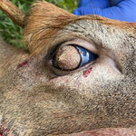 Znaleziono jelenia z włosami na oczach