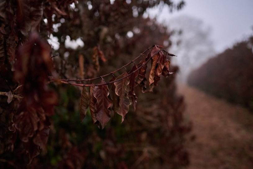 Zniszczone przez złe warunki pogodowe uprawy kawy /Igor Do Vale /Agencja FORUM