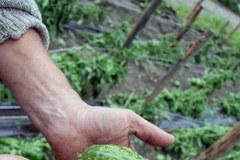 Zniszczone uprawy w Mazowieckiem